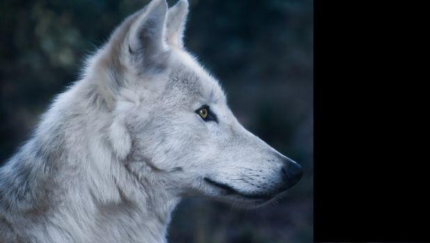 simbolo de soledad - el lobo