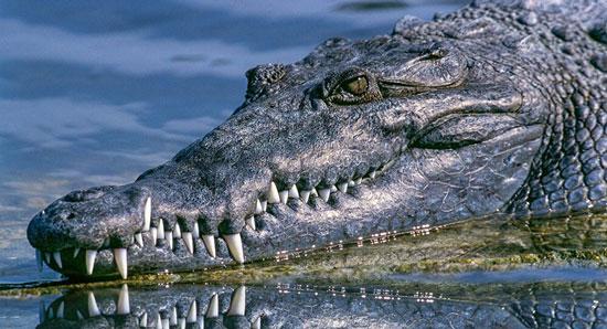 ¿Qué significa soñar con cocodrilos?