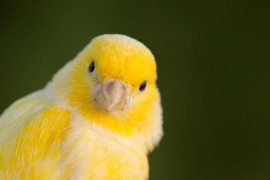 Canarios, ¿Qué son y qué simbolizan?