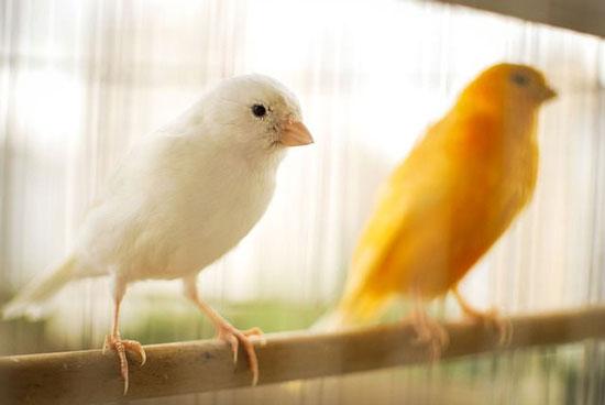 tipos de canarios